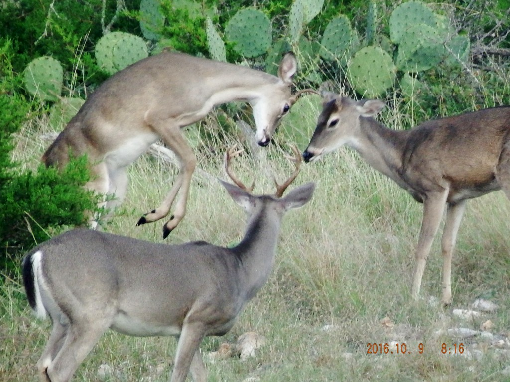 Young whitetails, Odocoileus virginianus.