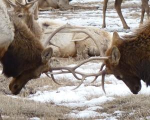 Engaging antlers.