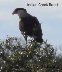 Crested Caracara