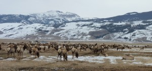 Elk at the National Elk Refuge, Jackson Hole, WY