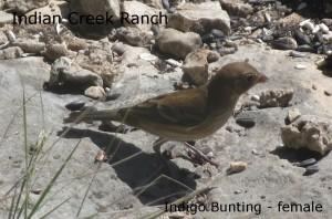 indigo bunting - female