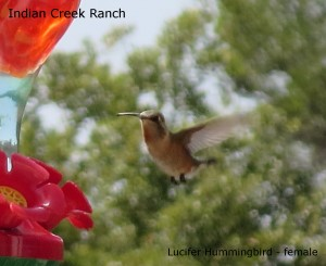 lucifer hummingbird - female