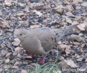 mourning dove - JR