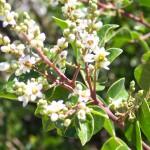 evergreen sumac bloom