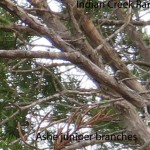 ashe branches
