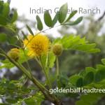 golden-ball lead-tree