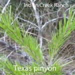 pinyon needles