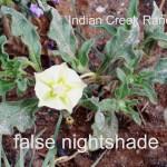 false nightshade - chamaesaracha sordida