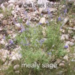 mealy sage