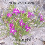 mountain pink - centaurium calycosum