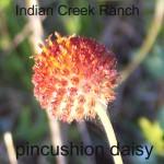 pincushion daisy 01 - gaillardia suavis