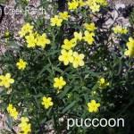 puccoon 01 - lithospermum incisum
