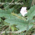 texas bindweed - convolvulus equitans