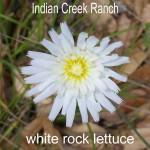 white rock-lettuce - pinaropappus roseus
